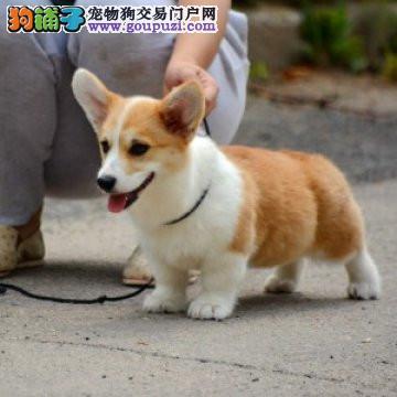 北京正规柯基犬舍、保纯度保健康、优质十佳犬舍