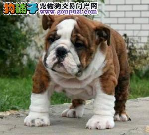 北京正规英斗犬舍、保障健康、可全国办理托运