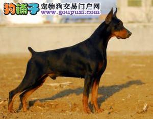 北京正规杜宾犬舍、保纯度保健康、优质十佳犬舍