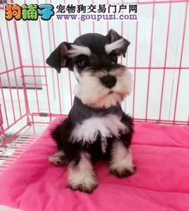 北京正规雪纳瑞犬舍、保障健康、可全国办理托运
