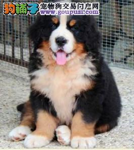 北京正规专业伯恩山犬舍、诚信经营、可签购犬协议