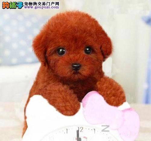 北京正规泰迪熊犬舍、诚信经营 保健康 可全国托运