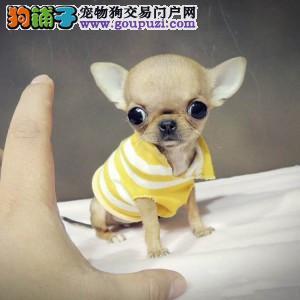 北京正规吉娃娃犬舍、诚信经营、可全国托运
