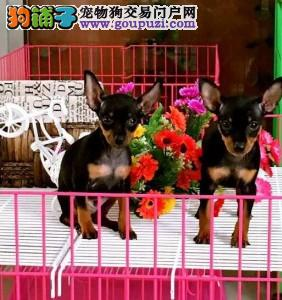 北京正规小鹿犬繁殖基地、诚信经营、品质保障