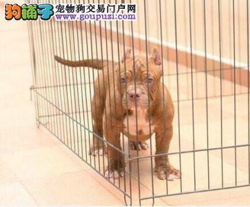 北京猛犬比特犬舍、保纯度保健康、十佳犬舍