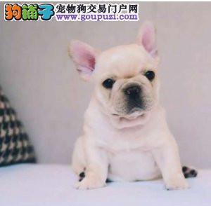 北京正规法斗犬舍、保障健康、可全国办理托运