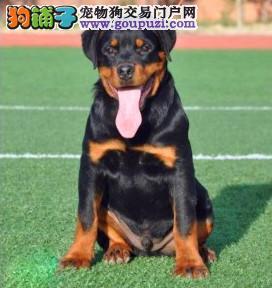 北京正规罗威纳犬舍、保障健康、可全国办理托运
