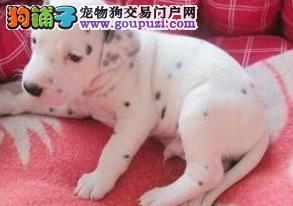 北京正规斑点犬舍、品质保障、诚信经营、可签协议