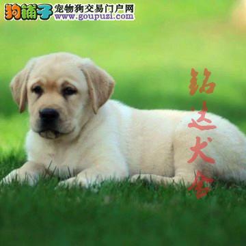 赛级拉布拉多幼犬在售、品质保障、健康保障