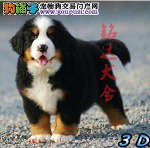 北京最大的伯恩山犬繁殖基地、保障纯度和健康