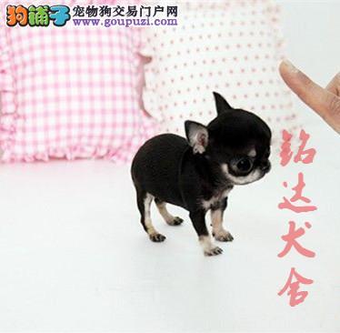 高品质苹果头吉娃娃幼犬出售了 保纯种 健康 可签协议