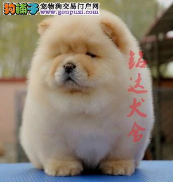 高品质松狮幼犬在售中 保纯种 健康 可签协议