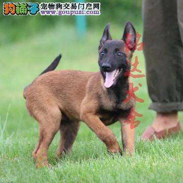 北京正规马犬繁殖基地、品质保障、可全国办理托运