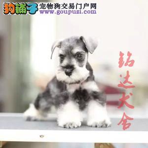 北京正规雪纳瑞犬舍 品质保障 诚信经营 可全国托运