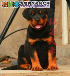 北京最大罗威纳犬繁殖基地、保障健康、保证纯度