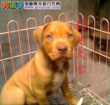 最大的比特犬繁殖基地、保纯保健康、可全国托运