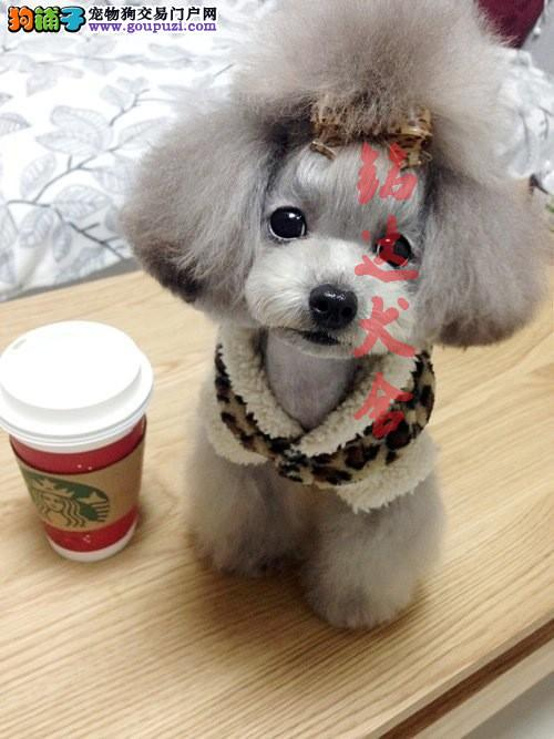 北京高品质贵宾犬幼犬 保纯种健康 CKU认证犬舍