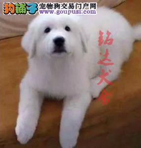 北京正规大白熊繁殖基地 保纯种健康 CKU认证犬舍