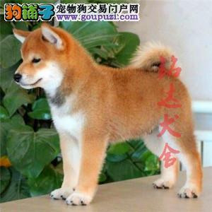 北京高品质柴犬犬舍、保障品质、健康 可签协议