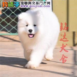 高品质萨摩耶幼犬出售了 保纯种、健康 可签协议