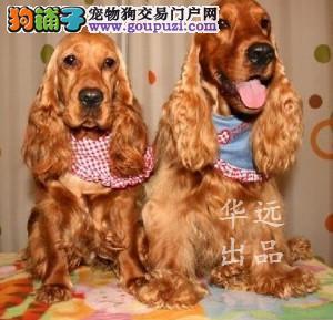 权威机构认证犬舍、专业可卡犬培育 完美售后服务