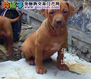 权威机构认证犬舍 专业比特犬繁殖 完美售