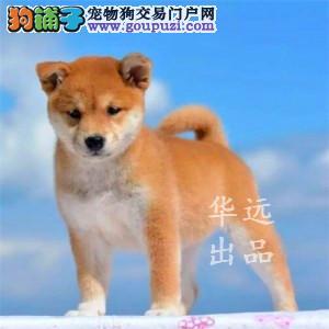 权威机构认证犬舍、专业赛级柴犬繁殖 完美售后