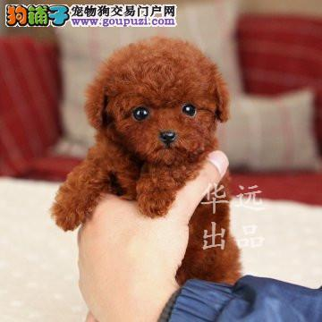 权威机构认证犬舍、专业泰迪犬培育 完美售后服务