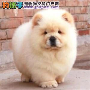 权威机构认证犬舍、专业赛级松狮犬繁殖 完美售后