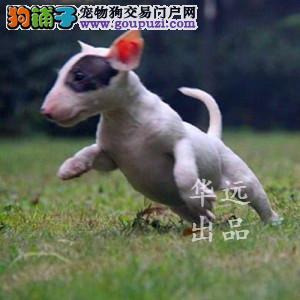 权威机构认证犬舍、专业牛头梗犬繁殖 完美售后