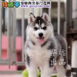 权威机构认证犬舍 专业赛级哈士奇繁殖完美售后
