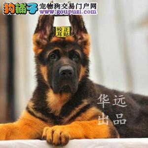 权威机构认证犬舍、专业德国牧羊犬繁殖 完美售后