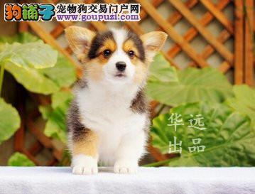 权威机构认证犬舍高品质柯基犬繁殖完美售后服务