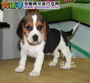 权威机构认证犬舍、专业比格犬培育 完美售后服务