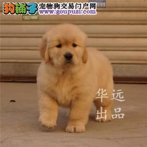 权威机构认证犬舍、专业赛级金毛犬繁殖 完美售后