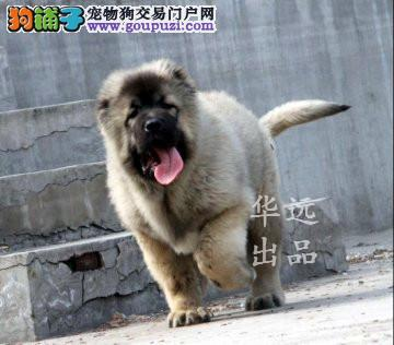 权威机构认证犬舍、专业高加索犬繁殖 完美售后