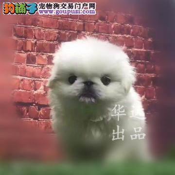 权威机构认证犬舍、专业京巴犬培育 完美售后服务