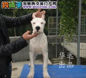 权威机构认证犬舍 专业级杜高犬繁殖完美售后