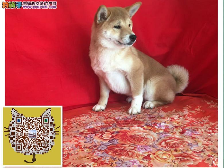犬舍繁殖日本犬种,柴犬网络红人表情包,血统纯正包90天