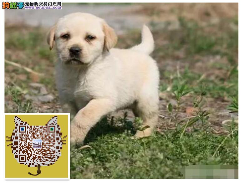 纯种黑色 和米黄色 拉布拉多犬 包健康