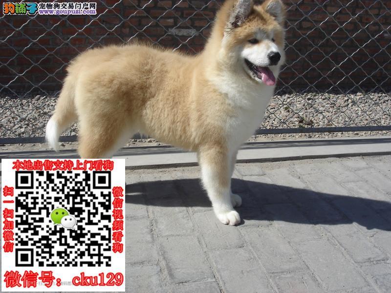 正规犬舍繁殖纯种柴犬 多只挑选 包纯种广西区南宁市