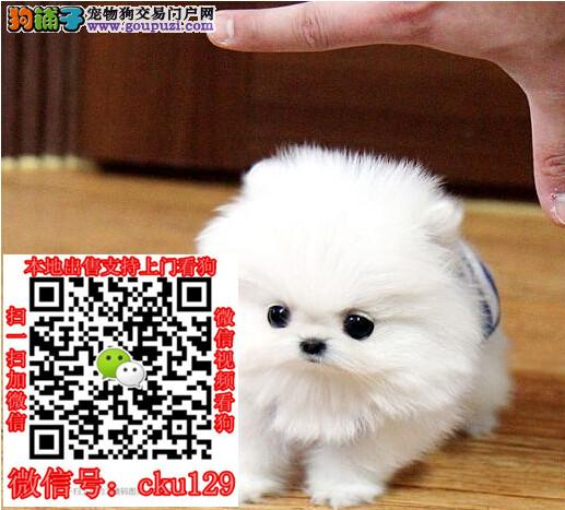 广西南宁博美犬价格多少钱_买卖出售领养转让