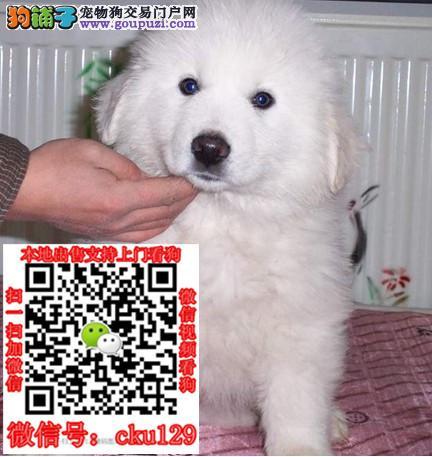南宁大白熊犬价格_南宁大白熊犬多少钱一只大白熊