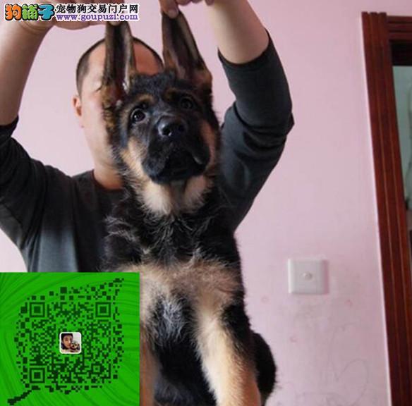 出售纯种德牧犬 自家养殖的 当面测试交易同城免费送狗