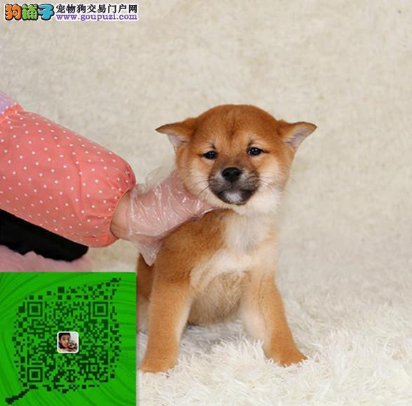出售纯种柴犬 自家养殖的 当面测试交易 同城免费送狗