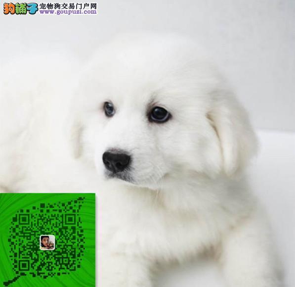出售纯种大白熊 自家养殖的 当面测试交易同城免费送狗
