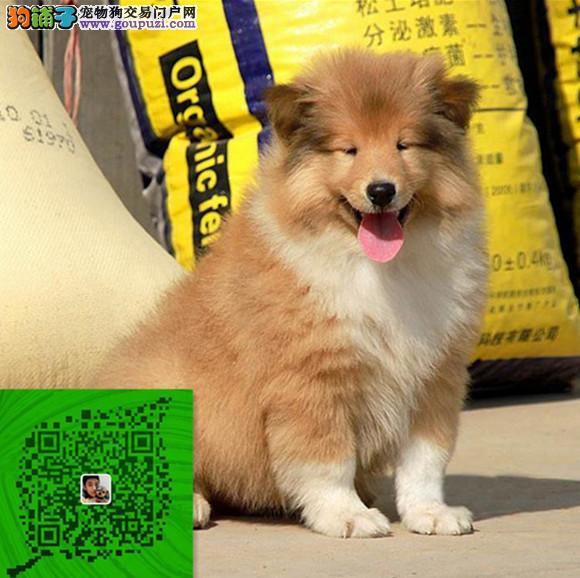 出售纯种苏牧犬 自家养殖的 当面测试同城免费送狗