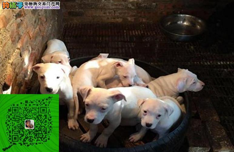出售纯种杜高犬 自家养殖的 当面测试 同城免费送狗