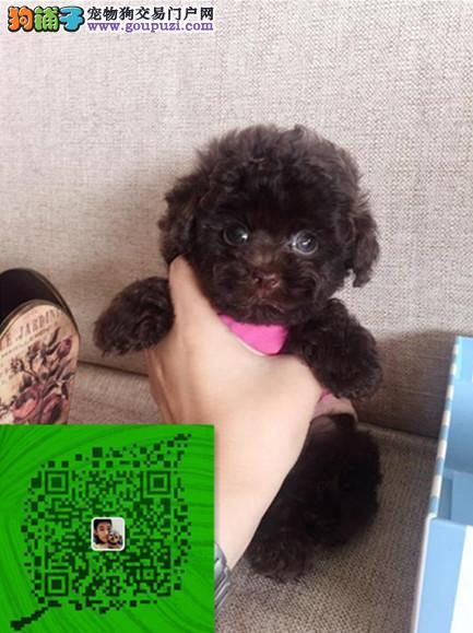 出售纯种泰迪犬 自家养殖 当面测试交易 同城免费送狗