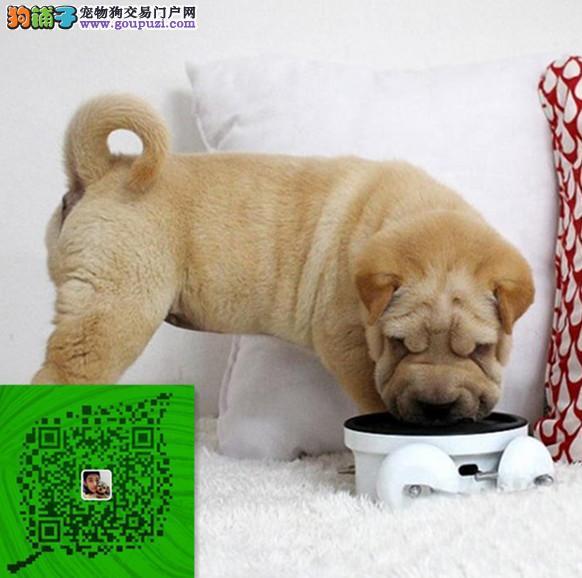 出售纯种沙皮犬 自家养殖的 当面测试 同城免费送狗